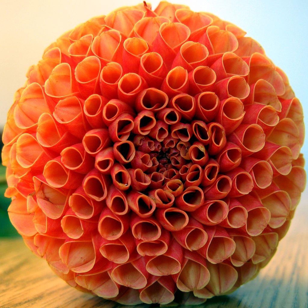 flower picture macro dahlia Johnny Huh.jpg (1024×1024
