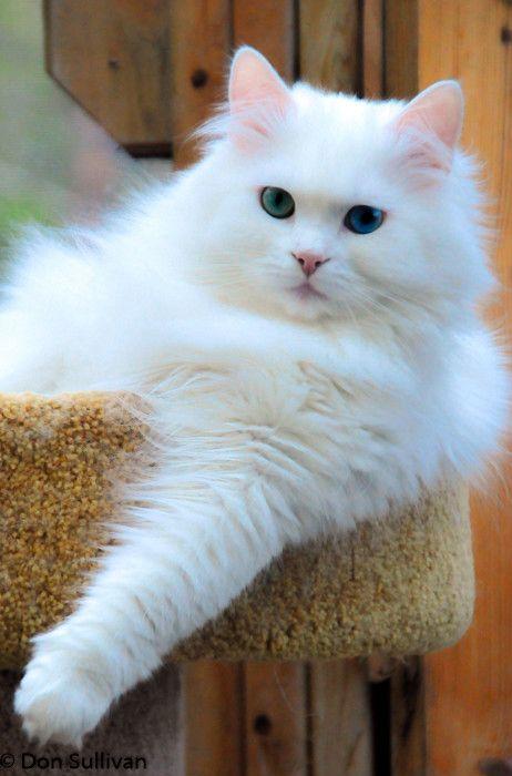 стадии зрелости сибирская белый котенок фото считается, что