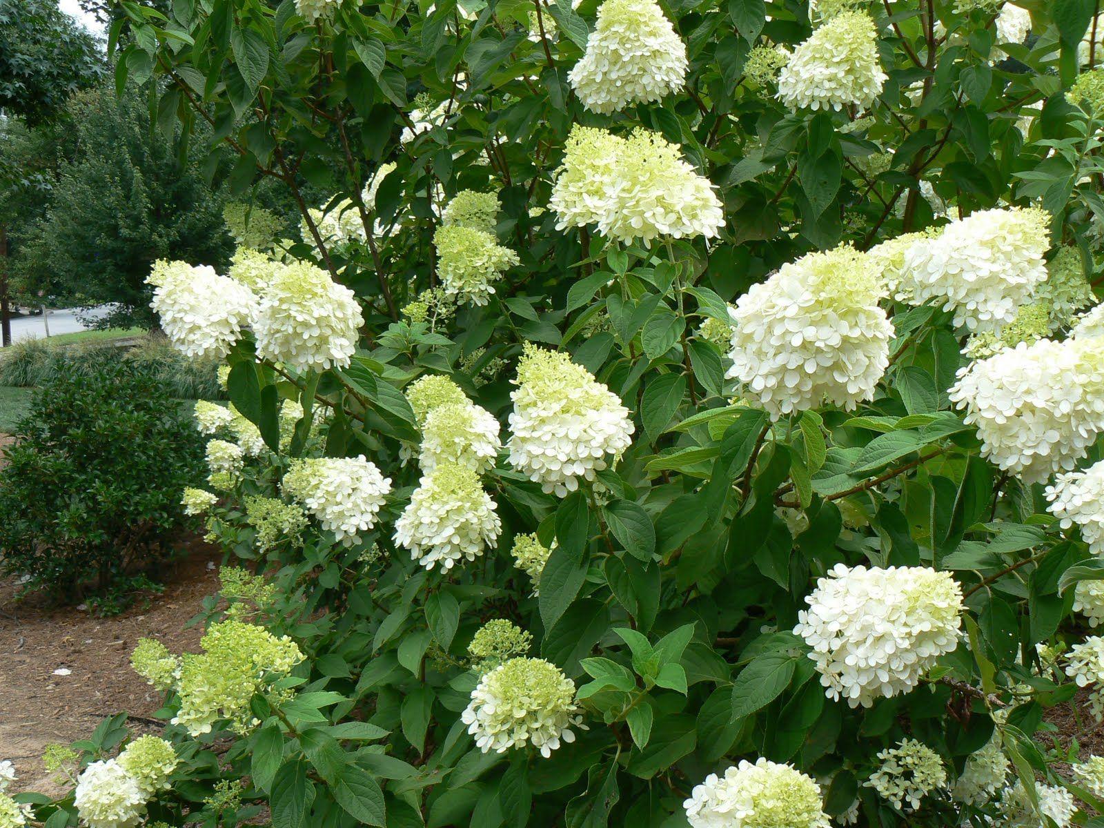 casagiardino limelight hydrangeas troshortensia 5 garden of earthly delights pinterest. Black Bedroom Furniture Sets. Home Design Ideas