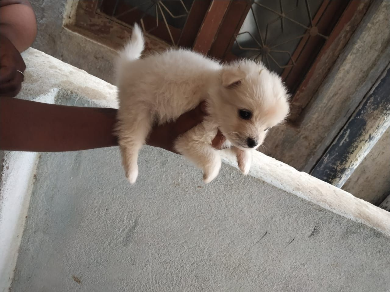 Mini Spitz Puppies Are Available For Sale In Hyderabad If You Are
