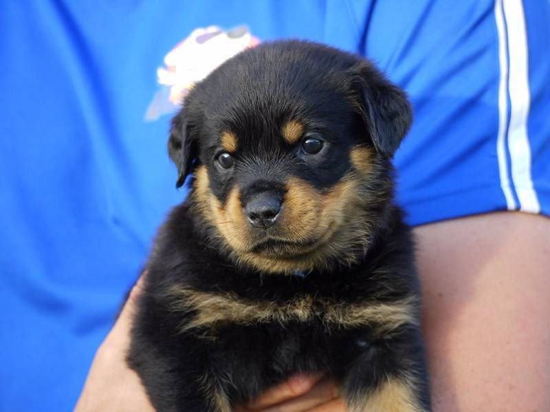 Premium Purebred Rottweiler Puppies We Have 8 Beautiful Female