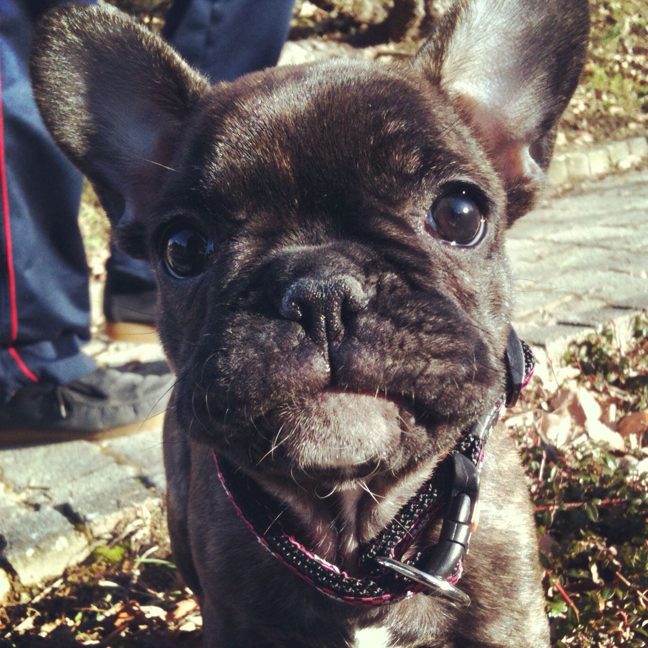 Baby Coco #frenchbulldog#puppy#bouly#coco#cocothefrenchiebulldog