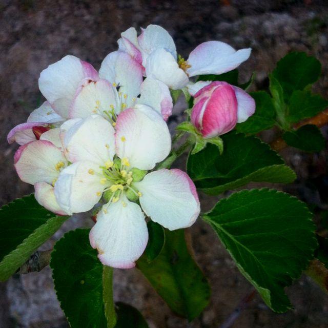 My Pink Lady Apple Tree Love It Plant Fungus Pink Lady Apples Beautiful Flowers