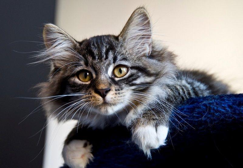 Сибирские кошки (описание, уход). 30 фото | Сибирские ...