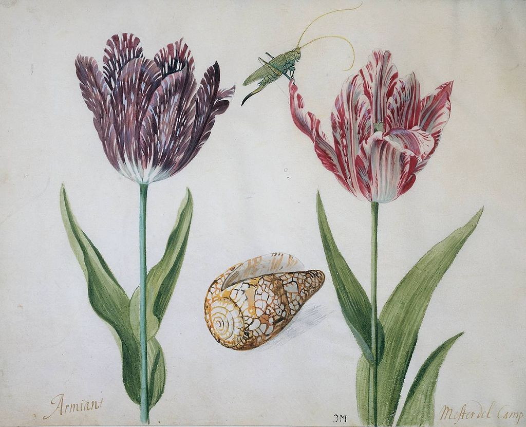 Jacob Marrel Two Tulips Jacob Marrel Wikipedia Art Floral