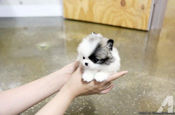 Outstanding Teacup Pomeranian Puppies For Adoption 401 684 4819