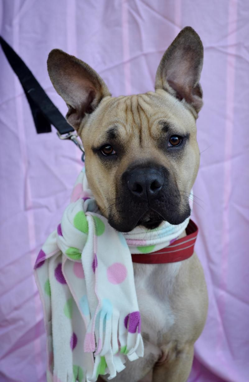 Adopt Max on Terrier mix dogs, Pitbulls, Dogs