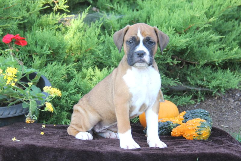 Abby Bullboxer Puppy For Sale In Pennsylvania Puppies Terrier