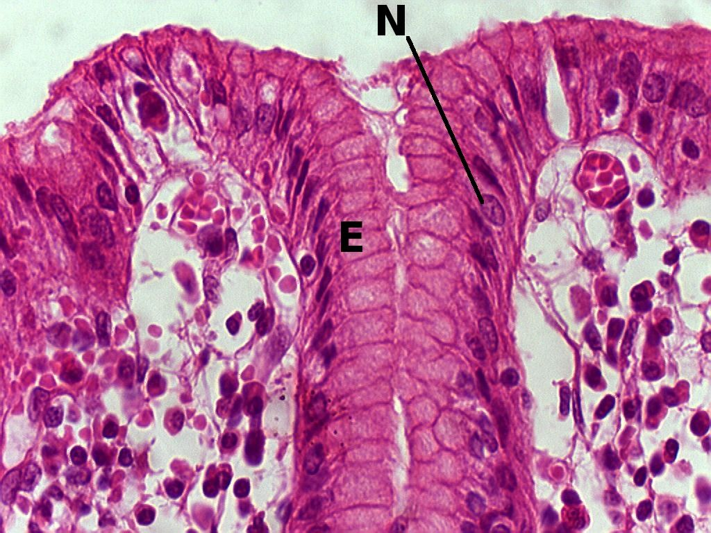 Simple Columnar Epithelium Pyloric Stomach 40x Histology