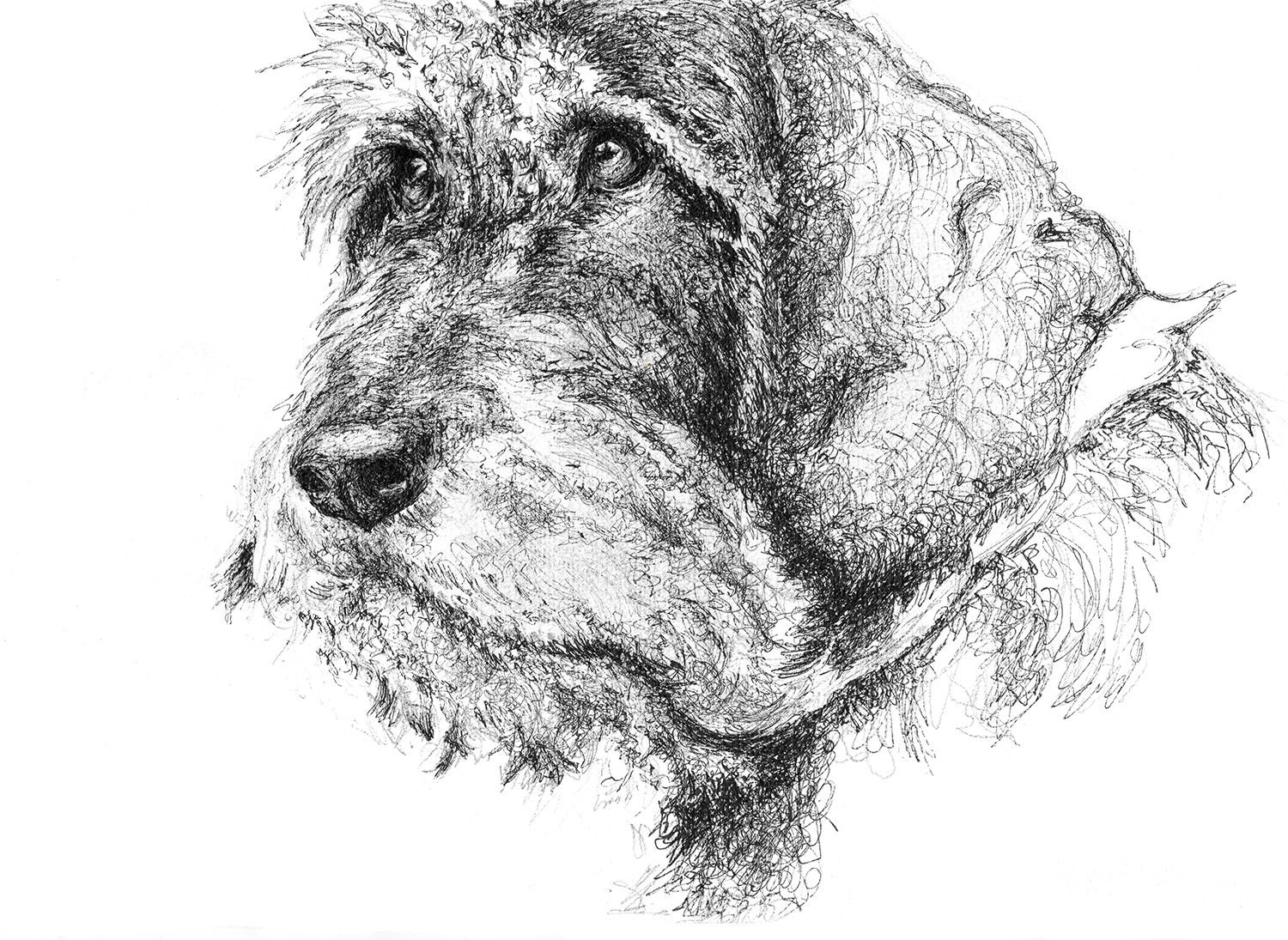 Pet portrait of a Wire-haired Dachshund, pen and ink drawing by ...