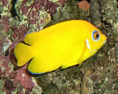Lemonpeel Angelfish Centropyge Flavissimus Lemonpeel Dwarf Angelfish Lemon Peel Angel Salt Water Fish Aquarium Fish Fish Pet