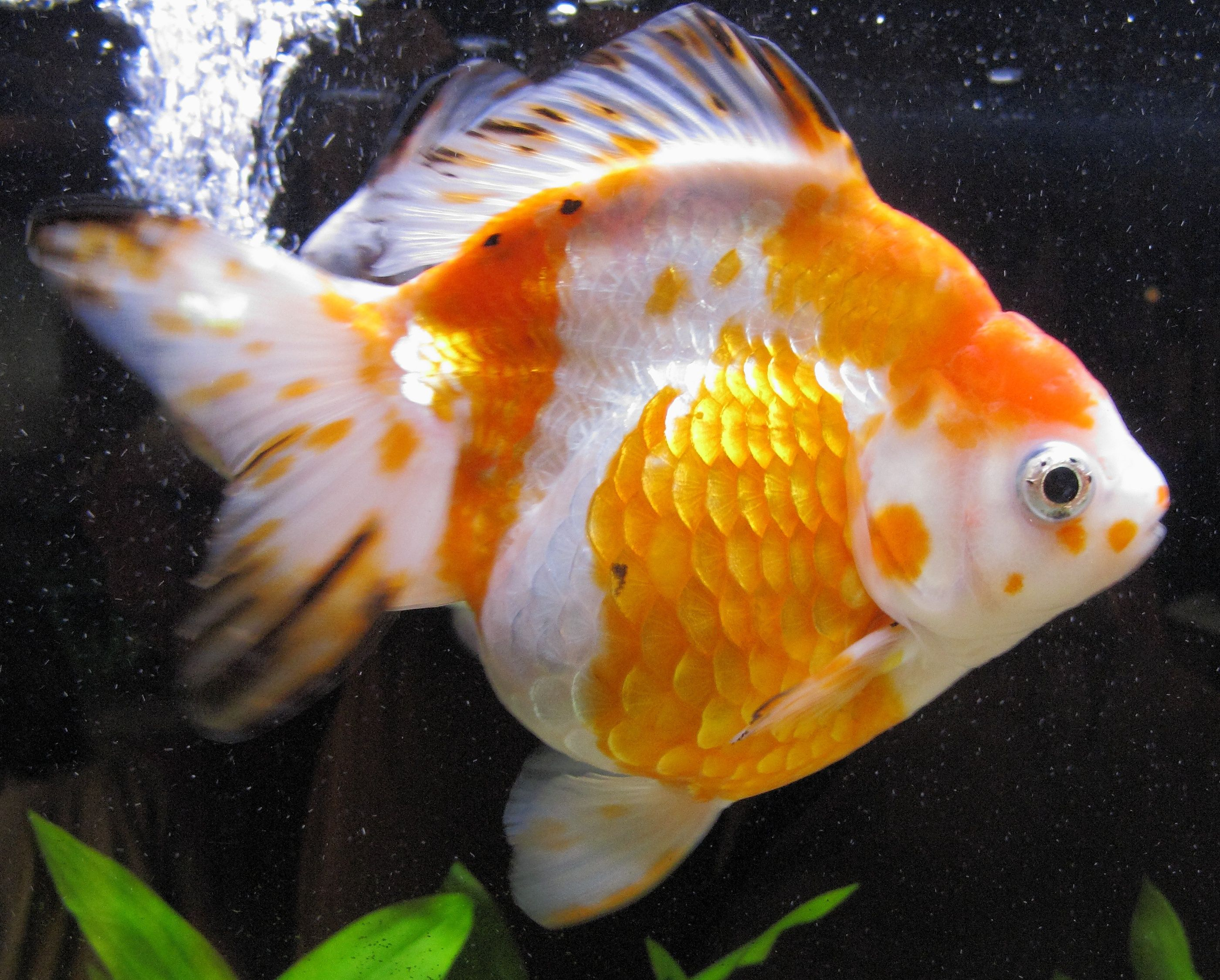 Orange And White Ryukin With Black Specks Ryukin Goldfish Pet Goldfish Goldfish