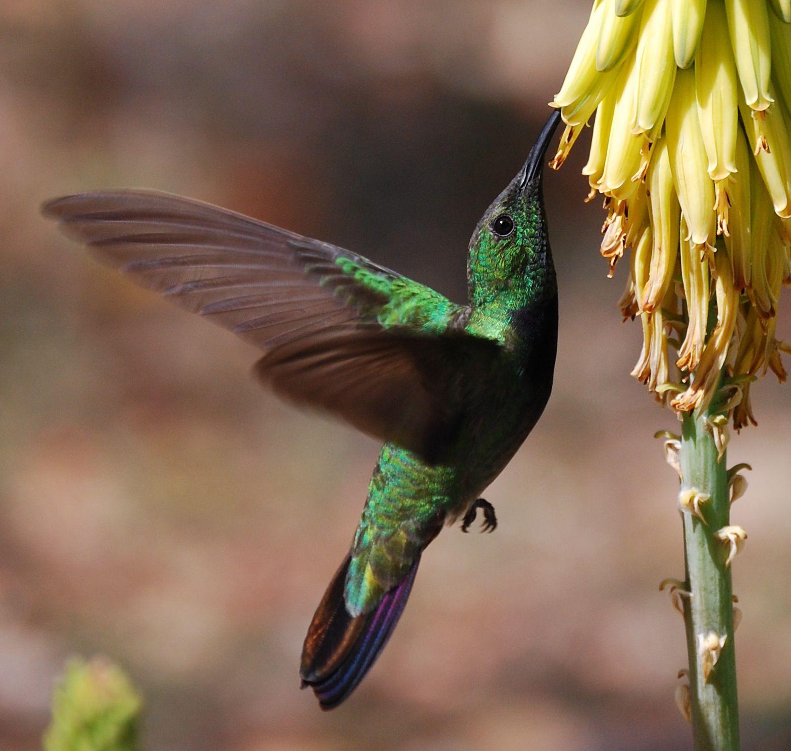 Puerto Rico Green Mango Hummingbird By Mikaelascharer