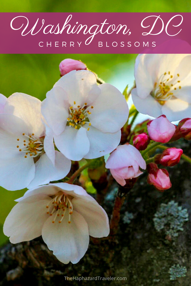 Where To See Cherry Blossoms In Dc Map Insider S Guide Cherry Blossom Dc Cherry Blossom Season Travel Usa