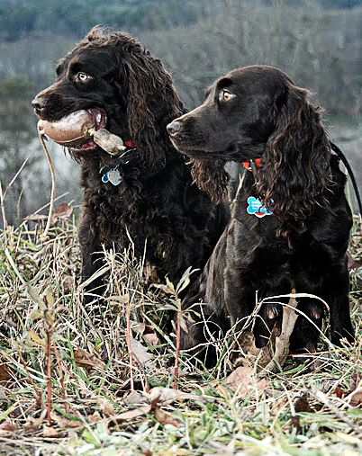 Boykin Spaniels Are Most Def My Favorite Dogs Boykin Spaniel Boykin Spaniel Puppies Bird Dogs