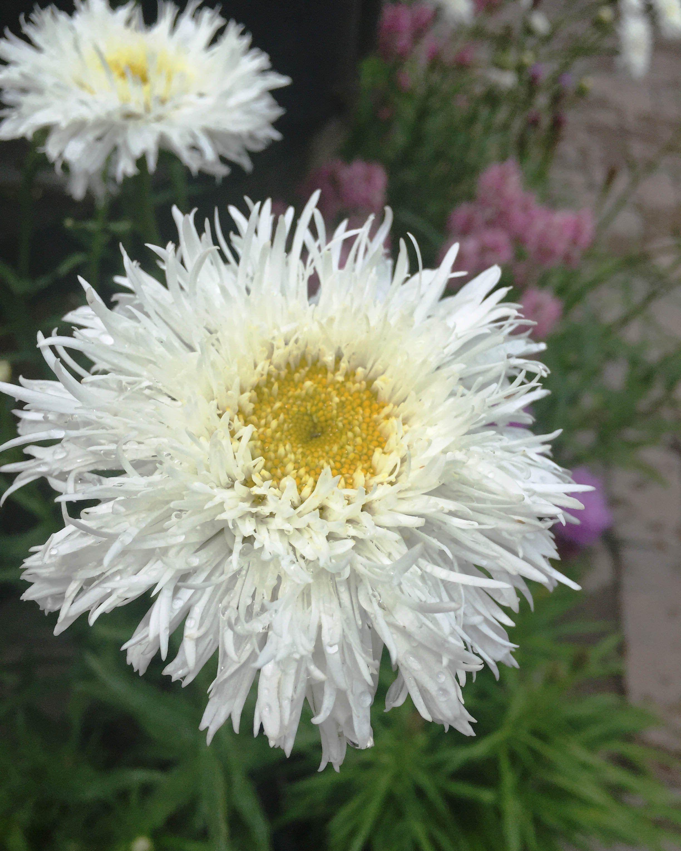 Shasta Daisy Aglaia For Sale Online Calgary Alberta 640 x 480