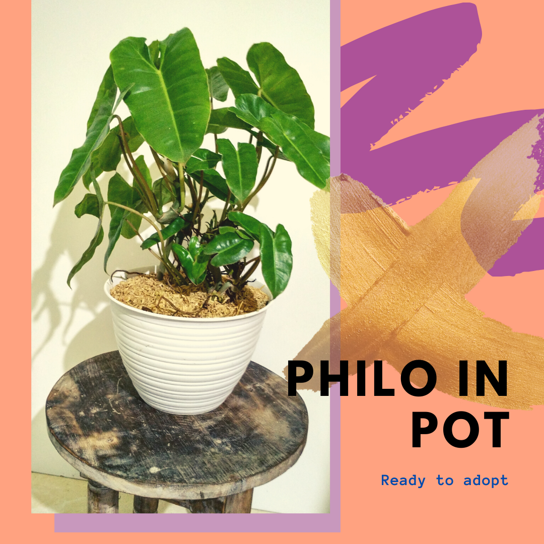 Philodendron Burlemax Philodendron Plants Pot