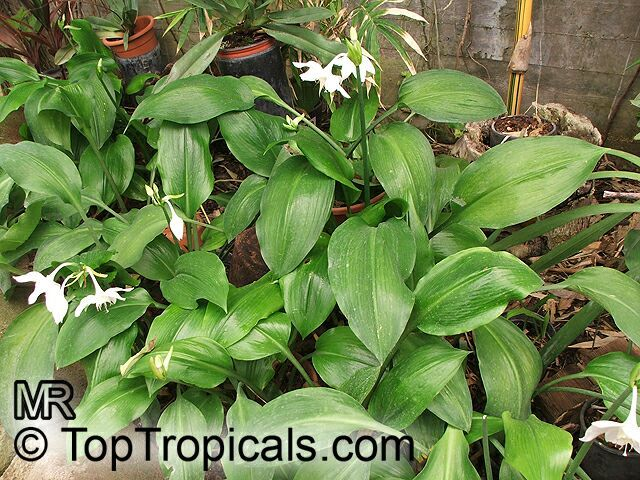 Eucharis Grandiflora (Amazon Lily) - 1', Shade, blooms  Nov or December. Roots don't like to be disturbed so consider planting the pot.