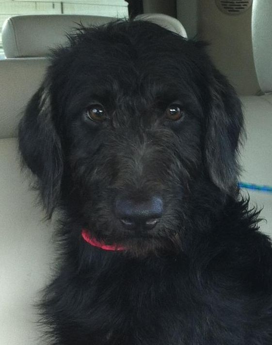 The Cutest Most Adorable Black Labradoodle Puppy His Name Is