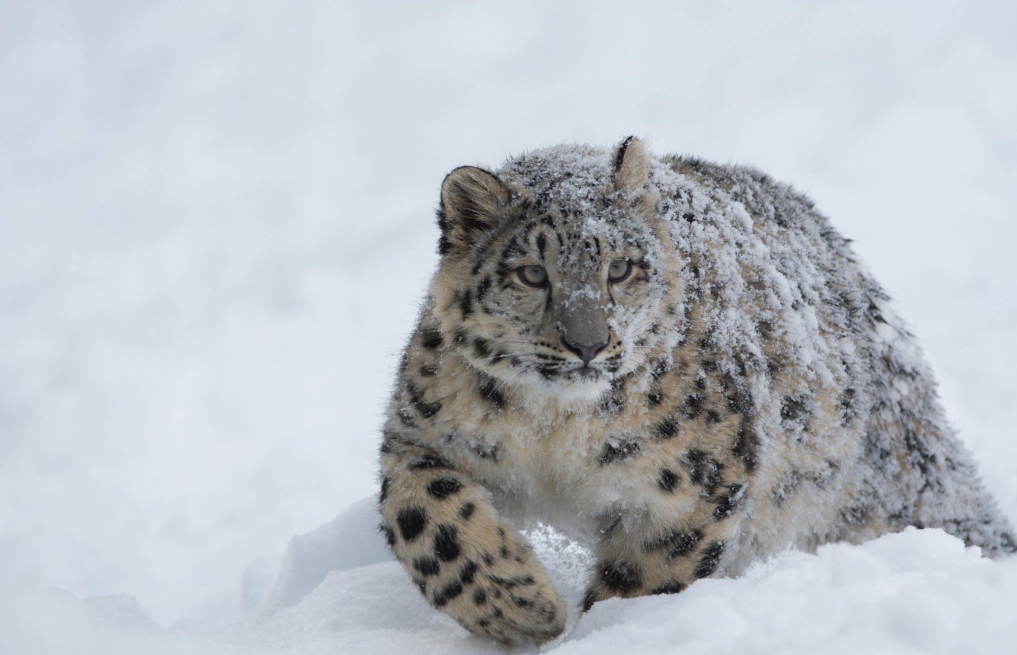 2045x1317 Snow Leopard Wallpaper Background Image  View