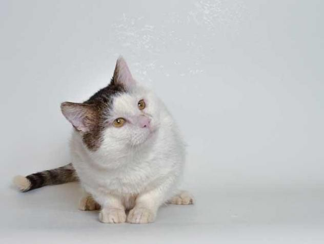 Adopt Snowball On With Images Old Cats Cats Kitty