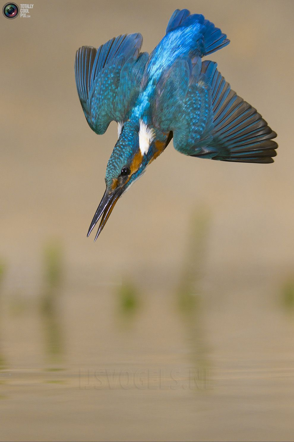 Stunning footage of catching fish by Kingfisher 04