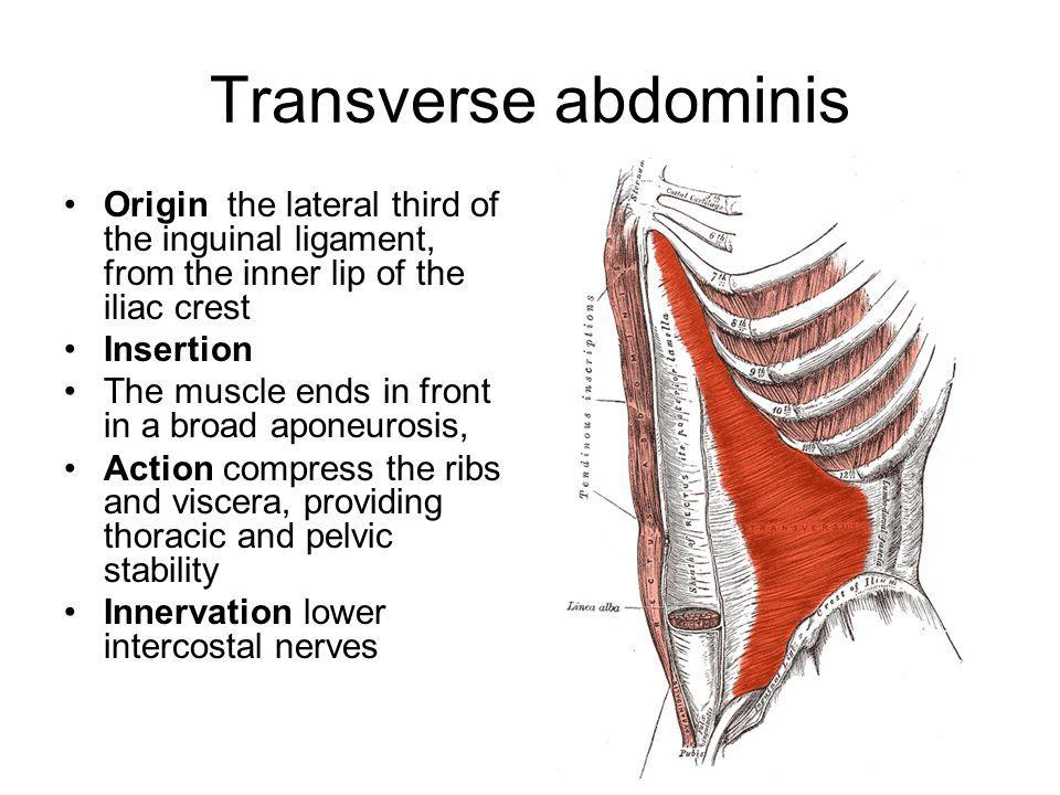 transverse abdominis origin and insertion - Google Search ...
