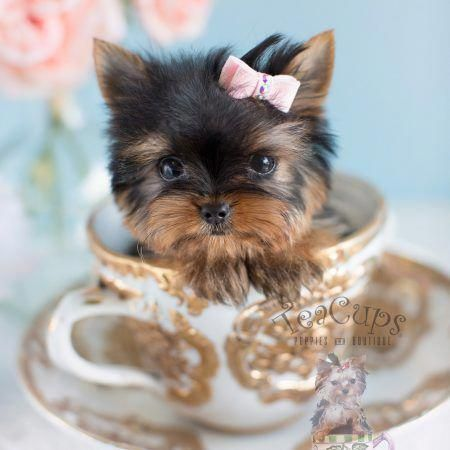 Tiny Female Yorkie Puppies Yorkshireterrierpuppy Teacup Puppies
