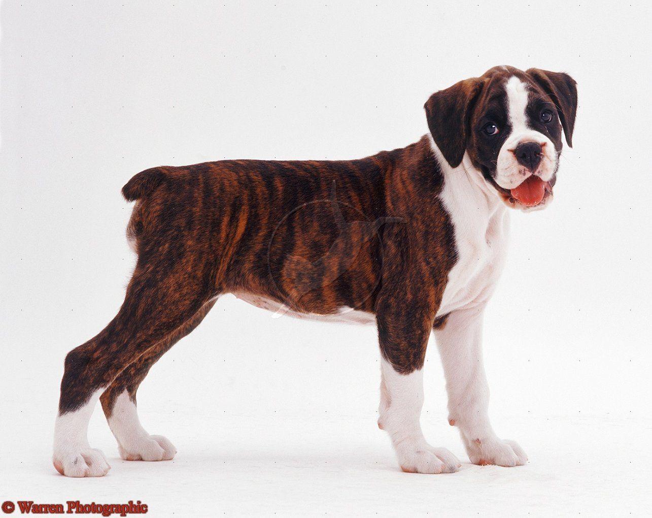 Fantastic Brindle Boxer Bow Adorable Dog - c8e132b07ec14c8010cb4d793df1cbe2  Graphic_792768  .jpg