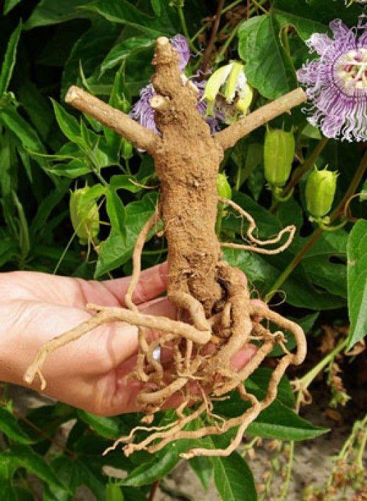 Ashwagandha Health Benefits And Side Effects What Is Ashwagandha Withania Somnifera And Its Uses Ayurvedic Herbs Ashwagandha Medicinal Herbs