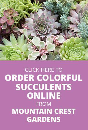 Beautiful Colorful Succulents Online From Mountain Crest Gardens
