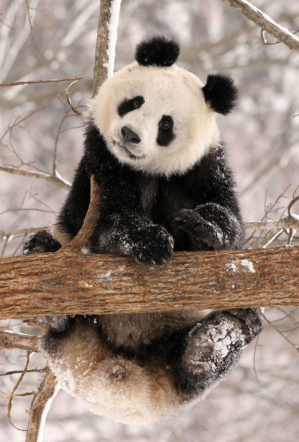Epingle Par Zuber Sylvia Sur Pandas Animaux Mignons Animaux Sauvages Bebes Animaux