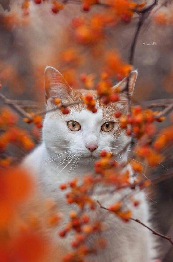 Pin by Teresa Clark on Autumn Orange Angora cats, Flea