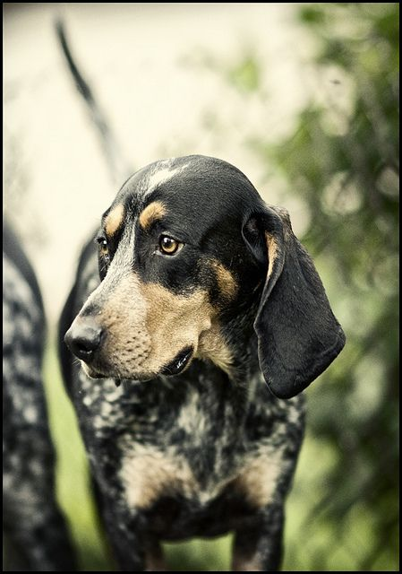 Sadie Bluetick Coonhound Bluetick Coonhound Hound Dog Dogs