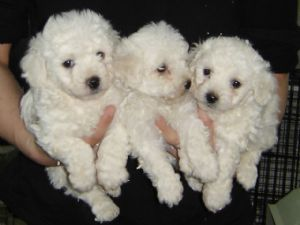 Buy Sell Bichon Frise Puppies Online Adopt A Bichon Frise Dog In
