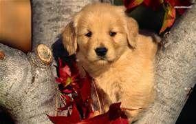 golden retriever puppies - Bing Images