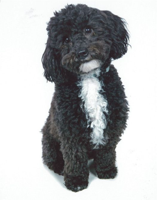 Black Bichon Frise So Cute Bichon