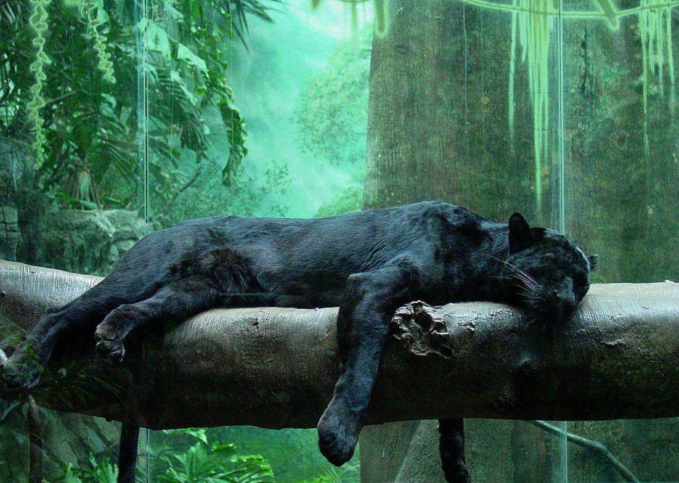 jaguar negro wallpaper - Pesquisa Google