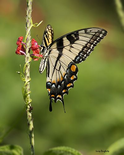 A Tiger Swallowtail At Mizell Farms