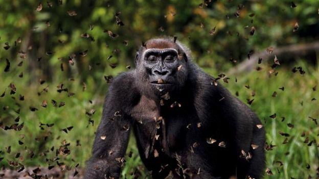 Ape and Butterflies.
