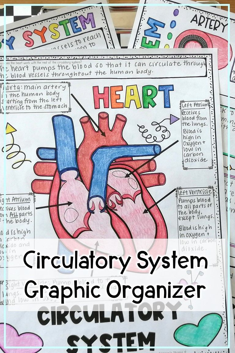 Circulatory System anchor chart diagram and drawing for ...