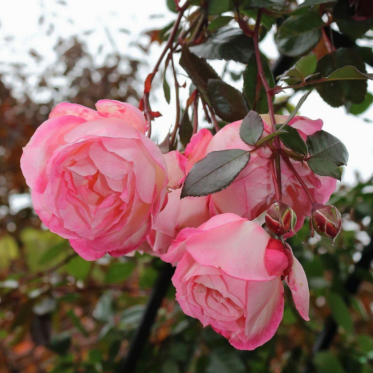 The desire, the capacity to enjoy, is an instinct; the love of #Roses is innate #Pink #Garden #flowers #Florist #flowerphoto #Flowerphotography #Flowersofinstagram #picoftheday #lovelyflowers #instacool #bestoftheday #photooftheday #flowersofinsta #flowerlove #flowerpower #nature #Inspiration #NZ