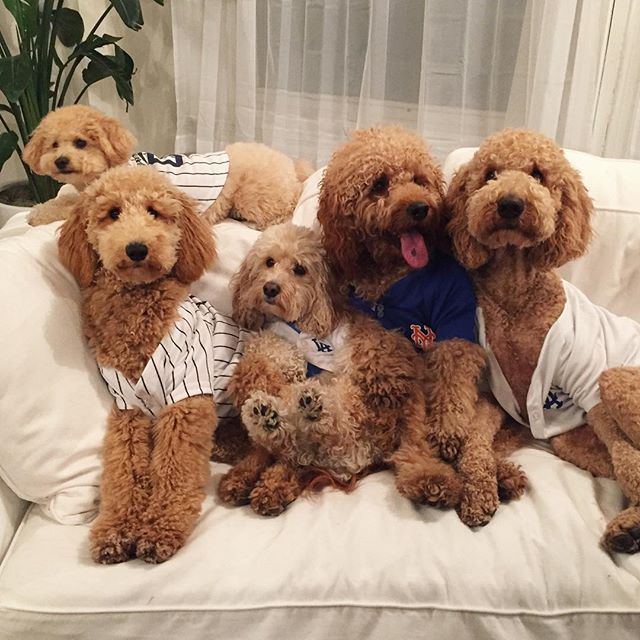 Take Me Out To The Ball Game These S Getyourmindoutofthegutter Goldendoodle Poodle Puppy Cute Baby Animals