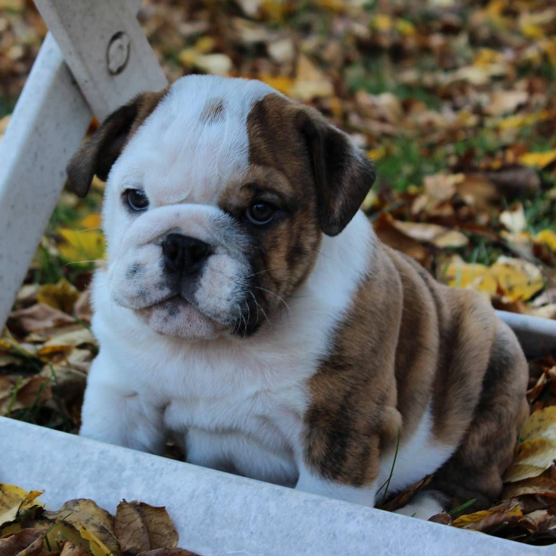 English Bulldog Puppy On Instagram Cute Animals Cute Puppies