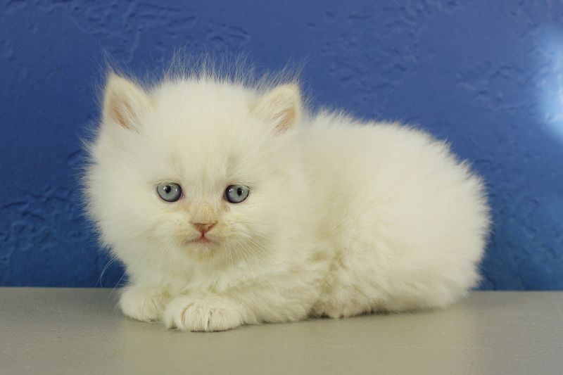 Ragdoll Kittens For Sale Buy Ragdoll Kittens Rag Doll Rag Dolls