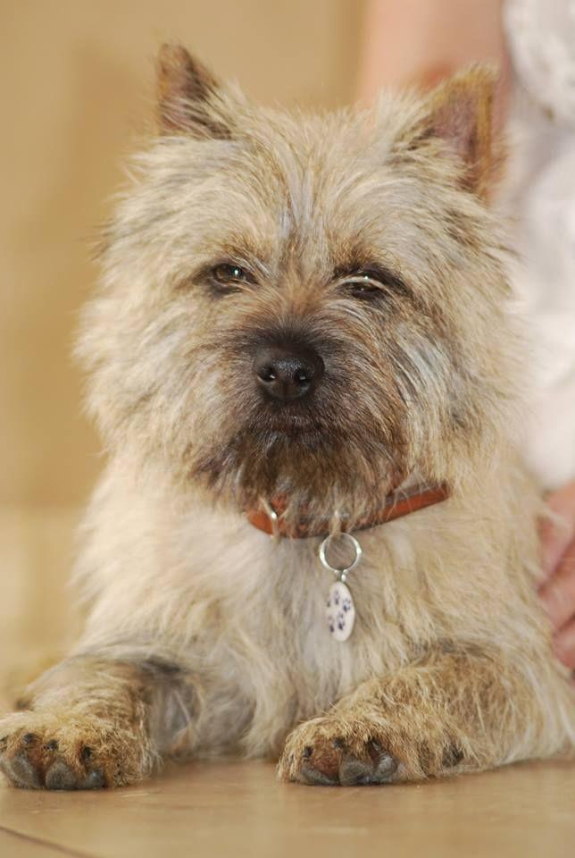 Astro Cairn Terrier Cairn Terrier Puppies Terrier Dog Breeds