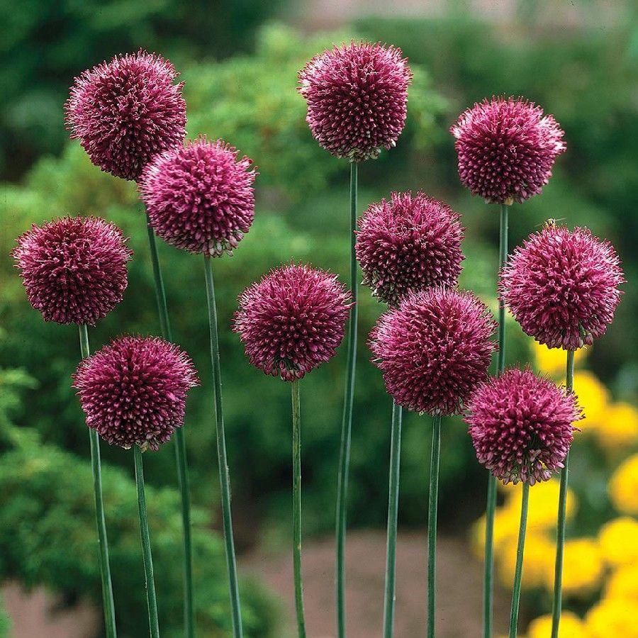 Small Allium Bulbs Sphaerocephalon Drumstick Buy In Bulk At Edenbrothers Com Bulb Flowers Planting Bulbs Dutch Gardens