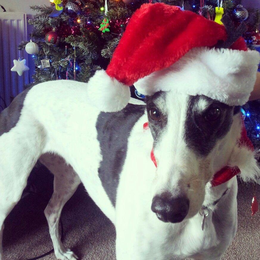 Love my Merry Christmas greyhound Maggie