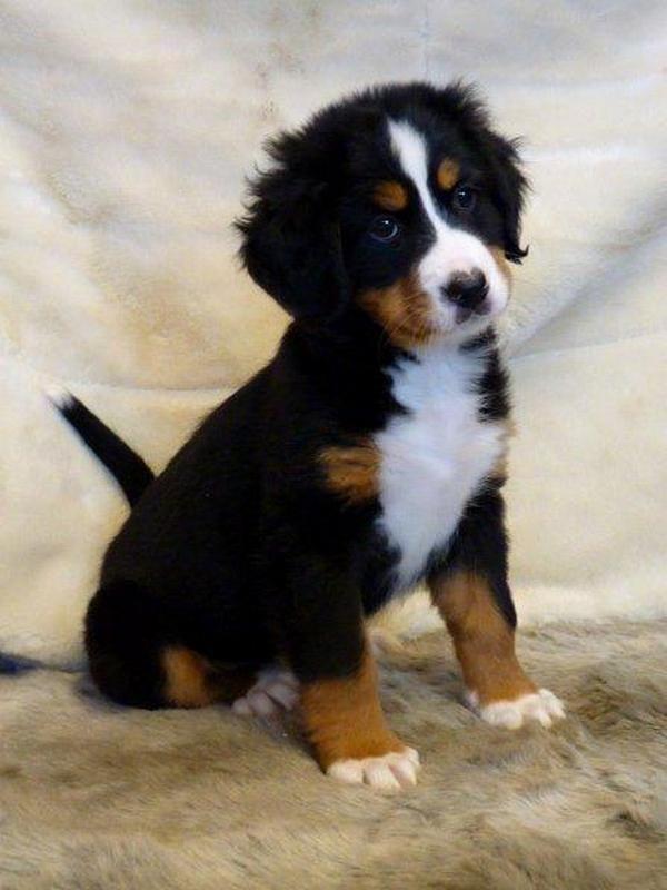 berner sennen | Bernese Mountain Dogs | Pinterest ... Berner Sennen Pups
