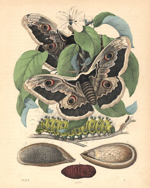 Life Cycle of the Great Peacock Moth 1852